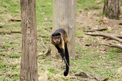 2016.03.23 - 1222.03 - NIKON D7000 - 90 (bigwhitehobbit) Tags: 2016 edinburghzoo family march monkey