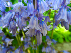 Hanging Bells (Carol Crook) Tags: flowers blue colour macro nature bluebells spring petal beuatiful springcolour fantasticflower