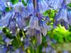 Hanging Bells (Carol Crook) Tags: flowers blue colour macro nature bluebells spring petal beuatiful springcolour fantasticflower