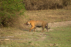 Majestic (Deepu Cyriac) Tags: travel nature animals wildlife tiger karnataka westernghats bengaltiger bandipur bandipurwildlifesanctuary indianforest royalbengaltiger bandipurnp bandipurtr