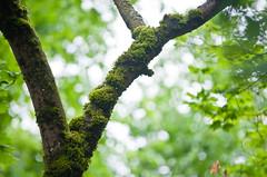 Tree Trunk Moss 2 of 2 (Orbmiser) Tags: tree oregon portland moss spring nikon bark trunk d90 55200vr