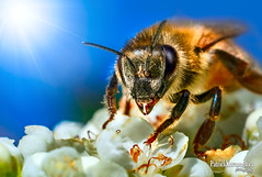 Being a Bee (Pat Kavanagh) Tags: canada macro tree bee alberta micro mountainash taber extensiontubes labcolorspace
