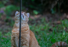 "Scooter's ""If Only"" Moment (Gabriel FW Koch) Tags: orange sun sunlight green face cat canon nose eos ginger eyes orangecat feline dof bokeh tail birdfeeder pole whiskers telephoto paws chin paes bristling"