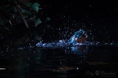 Splash (Cloudtail the Snow Leopard) Tags: bird water animal zoo fishing wasser dive basel kingfisher splash common tier vogel tauchen fischen alcedo atthis eisvogel