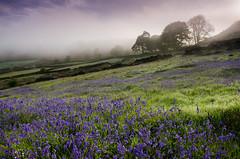 Curbar Edge (Peter Quinn1) Tags: mist dawn derbyshire nationaltrust curbaredge buebells curbargap
