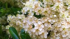 peace colors (Mado AwaD) Tags: trees white plant flower color tree green nature colors season spring groen blossom outdoor cluster may wit planten bloemen bloem kleur 2016 boem boemen