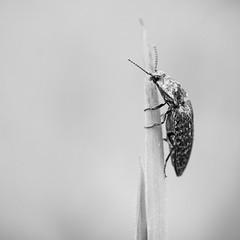 Attendre l't. (steph20_2) Tags: bw white black macro monochrome closeup insect lumix noir noiretblanc ngc panasonic monochrom blanc 45mm insecte m43 gh3 skanchelli