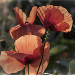 Red poppies thumbnail