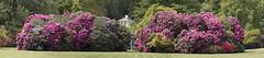 England (richard.mcmanus.) Tags: england uk london kenwood house rhododendrons garden plants flowers englishheritage panorama nature richardmcmanus