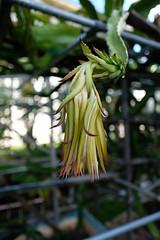 DSCF0381.jpg (rnakama_photos) Tags: dragonfruit cereus pitaya dragonfruitflower pitayaflower xpro2