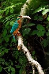 IMG_5010_edit Male Kingfisher with Pike (gipukan (rob gipman)) Tags: netherlands canon eos flash nederland 7d topaz beike canon100400lis bk45 q666c