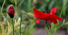 Coquelicots (escaledith) Tags: red flower rouge coquelicots