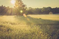 Early morning dew (jm atkinson) Tags: green field fog sunrise purple maine dew