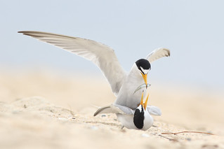 Least Tern Courting/Mating Series 8/10