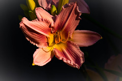 Out of darkness there is beauty... (bankst) Tags: pink flowers sunlight nature spring stem nikon northcarolina depthoffield stamen daylily stems buds pollen blooms afternoonsunlight d7200