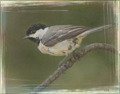 Chickadee Framed (ccliffb) Tags: bird tuftedtitmouse nature textures