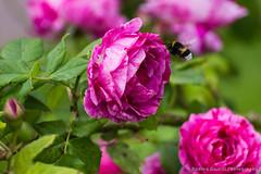 Prepare for landing (Andrea_Naselli) Tags: flowers flower macro garden insect munich bee botanicalgarden botanischergarten tamron70300 giardinobotanico tamronlens