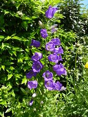 Grande Campanule (PatMargat) Tags: fleur fleurs jardin bleu insecte campanule grandecampanule