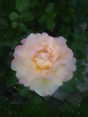 Morning Rose (PhotoJester40) Tags: plant outside outdoors whiteflower highlandpark whiterose