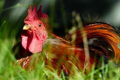 Rooster (evisdotter) Tags: light macro bird grass bokeh cock rooster fgel tupp sooc