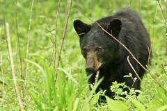 Black Bear (Jay Perry) Tags: bear travel blackbear cadescove smokeymountains greatsmokymountainsnationalpark gsmnp smokymountainsnationalpark smokymtns