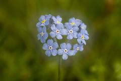 Passionnement (Philis.Nat) Tags: macro fleur montagne canon sigma objectif myosotis eos7d