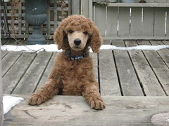 My Henry (humanant99) Tags: red dog puppy poodle standard standardpoodle redpoodle