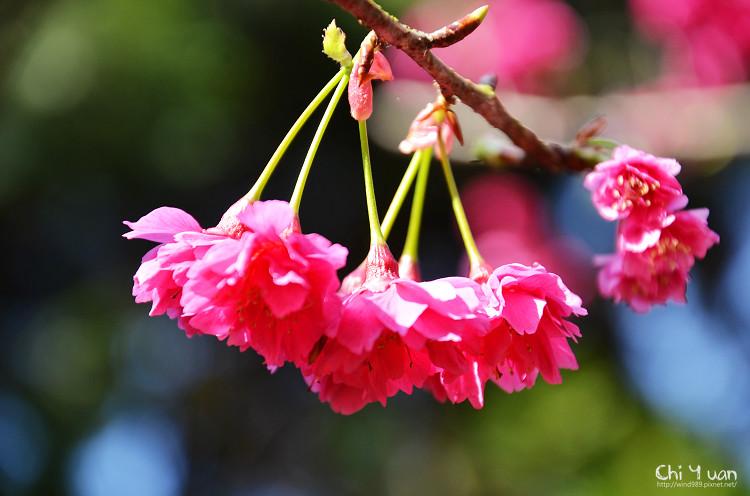 九族文化村櫻花祭-日18.jpg
