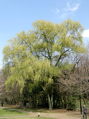 #1614 weeping willow () (Nemo's great uncle) Tags: tokyo flora willow  weepingwillow weeping salix kinutapark   setagayaku babylonica salixbabylonica