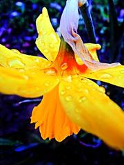 Spring Rains Solitude (SmallTownGirll) Tags: flower macro art nature water rain weather garden shower spring seasons sheffield vivid daffodil raindrops droplet hdr existence