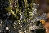 Foliose Lichen (Reptilian_Sandwich) Tags: statepark wild orange macro tree green forest walking reaching bokeh hiking michigan trunk afternoonlight splay flourishing decomposing deepwoods hiddenworld porcupinemountainswilderness carprivertrail