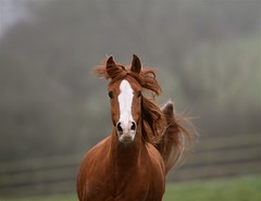 (Jo Monck Photography) Tags: horse tail pony arab chestnut blaze arabian mane cantering