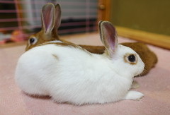 Netherland Dwarf Rabbit    Mini Usagi (Spice  Trying to Catch Up!) Tags: pet pets color rabbit bunny bunnies animal japan canon geotagged eos photo asia flickr  rabbits companion      saitamaprefecture kuneho        kasukabecity       gettyimagesjapan12q1