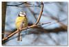 Blue Tit / Pimpelmees (Cyanistes caeruleus) (Levina de Ruijter) Tags: amsterdam birds animals canon nederland thenetherlands vogels canon5d dieren pimpelmees bluetit kenko14xtc canonef300mmf4lisusm