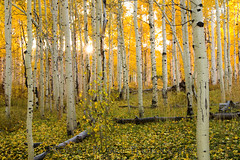 Backlit Aspen Grove, Utah (Robert Pearce Photography) Tags: autumn trees light white fall leaves yellow rural forest landscape gold utah nikon grove bark aspens sunburst zion backlit roads trunks aspen countryroad kolob nikond200 robertpearce robertpearcephotography