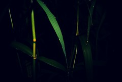 Reed (TurisZ) Tags: summer green reed night sony flash este alpha a230 zld nyr nd