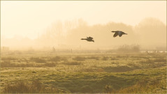 dutch-hazy-morning-spring (Joost N.) Tags: morning light sun mist holland green nature netherlands dutch grass animal sunrise early geese am spring haze nevel nikon groen nederland natuur goose gans ganzen dew breeding land gras nikkor hazy lente dauw ochtend noord landsmeer kwek vroeg twiske