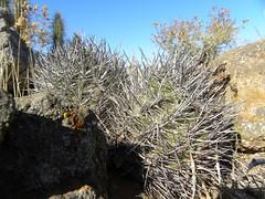 DSCN8546 (Robby's Sukkulentenseite) Tags: chile cactus cacti coquimbo reise kaktus kakteen eriosyce tongoy standort subgibbosa neoporteria nigrihorrida rb2027 ka4151s