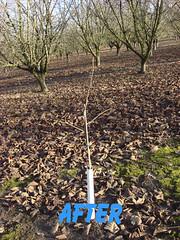 3117 filbert pruning (growing hazelnuts) Tags: pruning filberts