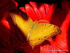 The Cruiser - Vindula dejone - butterfly (My Planet Experience) Tags: nature canon butterfly bug garden insect photo airport singapore image papillon borboleta tropical daisy changi mariposa cruiser schmetterling  kupukupu  butterflygarden   bm thecruiser vinduladejone commoncruiser wwwmyplanetexperiencecom myplanetexperience