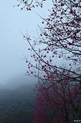 緋寒櫻  III (麻瓜不懂魔法 (OFF)) Tags: blue sky flower tree green fog forest pentax soe k5 1001 doublefantasy floralfantasy supershot topshots fa31mmf18 flickraward photosandcalendar flowersarebeautiful platinumheartaward goldstaraward natureselegantshots aplumblossom panoramafotogrfico flickrsportal esenciadelanaturaleza blinkagain bestofblinkwinners art2011 rememberthatmomentlevel1