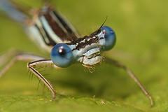 Blauwe Breedscheenjuffer - Platycnemis pennipes (henk.wallays) Tags: blauwe platycnemis 20110716nismes pennipesbreedscheenjuffer