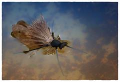 Giant Caddis Fly (dspindle) Tags: flies flyfishing flytying caddis caddisfly fishingfly fishingflies sigma150macro nikond90 dougpauley giantcaddisfly
