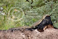 IMG_0836 (Paolo Schneider) Tags: nature hug wildlife lizard namibia sunbathing caprivi watermonitorlizard
