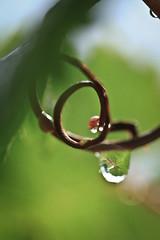 Raindrops in the Vinyard (Andreas Hendrik) Tags: rain germany wine raindrops regen rheingau wein vinyards weinberge weintrauben wienbltter