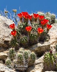 Claret Cup Cactus 2