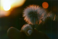 Cause you are the only exception EXPLORE (Rob Aparicio) Tags: sunset bokeh dandelion robaparicio robertoaparicio robaparicioflickr dream atardecer desenfoque enfoque naturaleza nature dientedelen