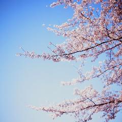(Polotaro) Tags: flower nature velvia  sakura  fujichrome      yashicaflexnewbtype