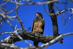 Young Bald Eagle (K Fletcher) Tags: canada calgary bird baldeagle raptor alberta inglewood