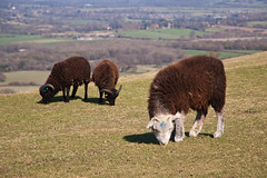 Grazing on the Beacon (09) (Malcolm Bull) Tags: park downs sussex sheep south national beacon include ditchling 20120321clayton0009edited1web